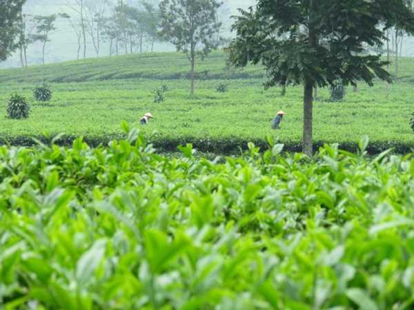 Teeplantage-Lombok