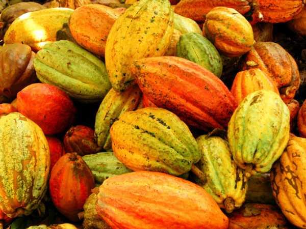 Kakaofruechte-Nicaragua